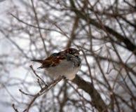 Gorrión en un día de invierno fresco Imagenes de archivo