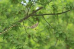 Gorrión en una rama; Imagenes de archivo