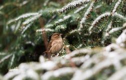 Gorrión en una rama de árbol de la nieve Imagen de archivo