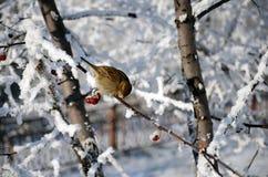 Gorrión en una rama en invierno Imagen de archivo libre de regalías
