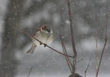 Gorrión en una tormenta de la nieve Fotos de archivo libres de regalías