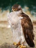 Gorrión-halcón. fotos de archivo