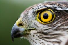 Gorrión-halcón Fotos de archivo