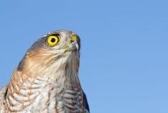 Gorrión-halcón Foto de archivo