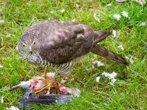 Gorrión Hawk Feeding Imagenes de archivo