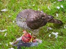 Gorrión Hawk Feeding imagen de archivo libre de regalías