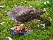 Gorrión Hawk Feeding Fotos de archivo