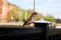 Gorrión joven de la calle en Sunny Day foto de archivo
