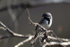gorrión Negro-throated, bilineata de Amphispiza Fotos de archivo libres de regalías