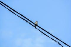 Gorrión plumoso que se sienta en los alambres fotos de archivo