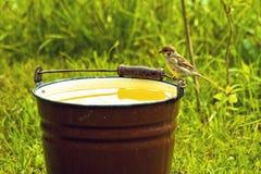 Gorrión que bebe de un compartimiento de agua Foto de archivo libre de regalías