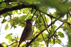 Gorrión que busca la comida en un árbol Fotos de archivo libres de regalías