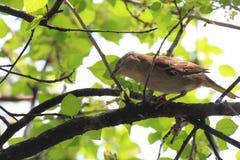Gorrión que busca la comida en un árbol Fotografía de archivo