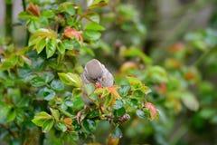 Gorrión que come en arbusto color de rosa Fotografía de archivo