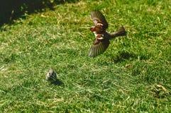 Gorrión que recoge la hierba para la jerarquía foto de archivo