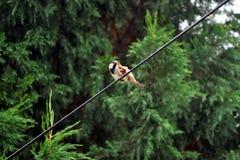 Gorrión que se sienta en el cable Imagen de archivo