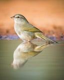 Gorrión verde oliva Foto de archivo libre de regalías