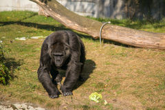Gorrila. In the Berlin zoo Royalty Free Stock Photo