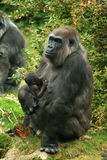 Gorrila mother nursing baby Royalty Free Stock Image