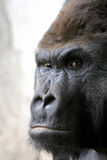 Gorrila sits alone. Gorila gazes out at photographer with the weight of the world on his mind stock image