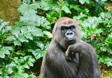 Gorrilla bij de dierentuin van Melbourne Royalty-vrije Stock Afbeelding