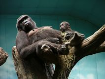 Gorrilla and Child Royalty Free Stock Images
