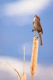 Gorrión de canción del canto Foto de archivo libre de regalías