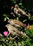 Gorriones adultos y jovenes en árbol Imagen de archivo libre de regalías