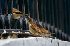 Gorriones curiosos de la ciudad Imagenes de archivo