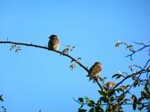 Gorriones de árbol eurasiáticos que se sientan en una rama fotografía de archivo libre de regalías