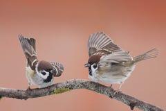 Gorriones de los pájaros Fotos de archivo