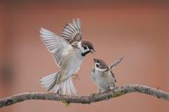 Gorriones de los pájaros Imagen de archivo libre de regalías