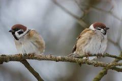 Gorriones de los pájaros en una rama en primavera Imagen de archivo