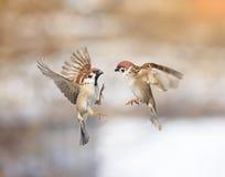 Gorriones de los pájaros que revolotean en el aire y que discuten en el parque imagen de archivo libre de regalías