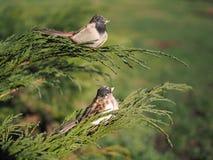 Gorriones decorativos de los pájaros en una rama del enebro cosaco imagen de archivo