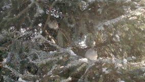 Gorriones en el bosque del abeto almacen de video