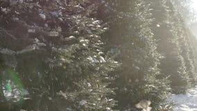 Gorriones en el bosque del abeto almacen de metraje de vídeo