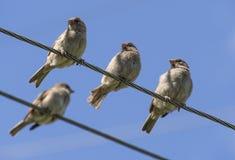 Gorriones en los alambres Foto de archivo libre de regalías