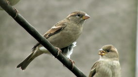 Gorriones en pájaro de alambre espeso almacen de video