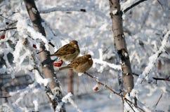 Gorriones en un árbol Imagen de archivo libre de regalías