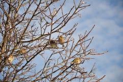 Gorriones en un árbol del invierno foto de archivo