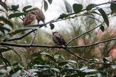 Gorriones en una rama verde los pájaros Fotos de archivo