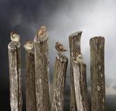 5 gorriones jovenes que se sientan en una cerca vieja Imagen de archivo