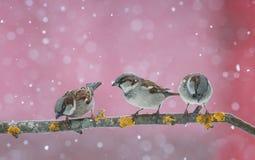 Gorriones lindos divertidos de los pájaros que se sientan en la rama durante un snowfal Fotografía de archivo libre de regalías