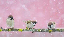 Gorriones lindos divertidos de los pájaros que se sientan en la rama durante un snowfal Fotos de archivo