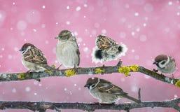 Gorriones lindos divertidos de los pájaros que sientan en una rama durante las nevadas Imagen de archivo libre de regalías