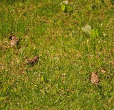 Gorriones que comen y que buscan en la hierba Foto de archivo