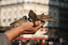 Gorriones que comparten una comida Foto de archivo