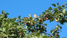 Gorriones que se sientan en árbol de ciruelo entre ramas y frutas metrajes