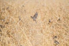 Gorriones que vuelan sobre los cereales Fotos de archivo libres de regalías